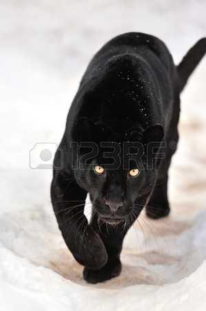 фото маленькой пантеры