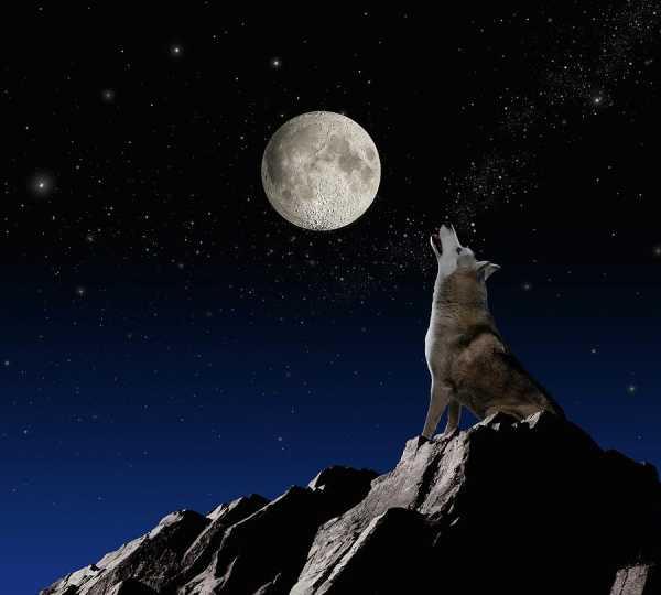 Картинки волки воющие на луну – Картинки волка воющего на ...