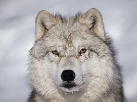 Волки картинки (637 фото) скачать обои